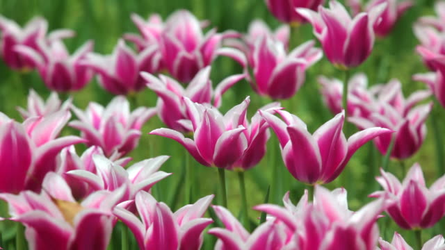 tulip field - plusphoto stock videos & royalty-free footage