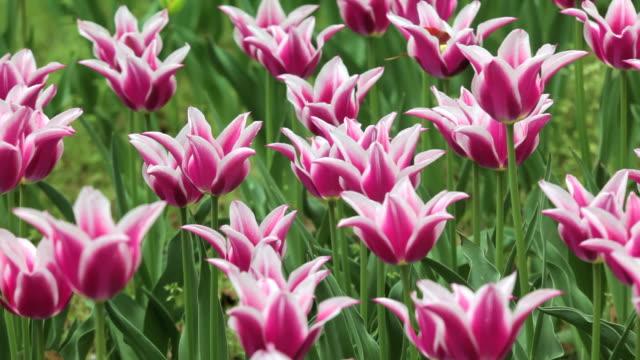 vídeos y material grabado en eventos de stock de tulipán de campo - plusphoto