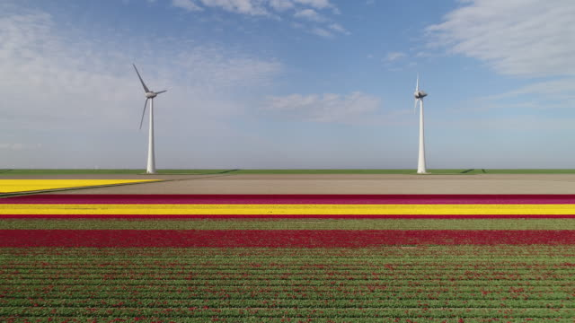 tulip fields and wind turbines - polder stock videos and b-roll footage