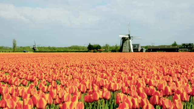 tulip fields and windmills in holland - netherlands stock videos & royalty-free footage