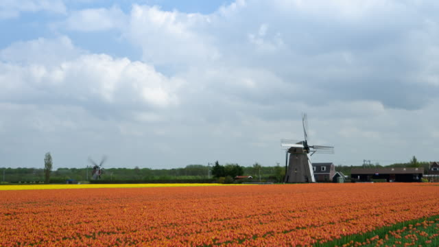 Tulip fields and windmills time lapse