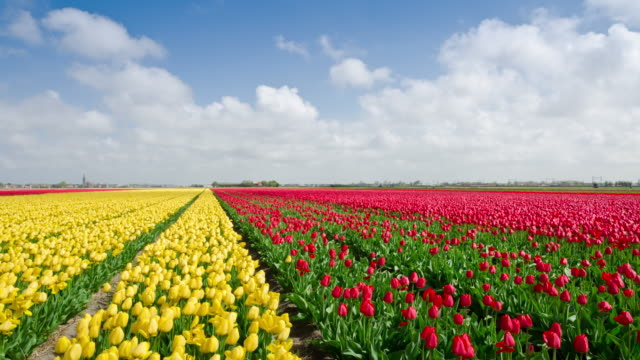 tulip fields in holland time lapse - dutch culture stock videos and b-roll footage