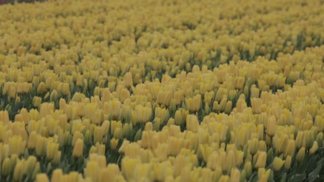tulip fields in mount vernon wa at tulip town owned by skagit valley bulb farm on thursday april 5 2018 - temperate flower stock videos and b-roll footage