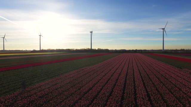5 月に美しい晴れた朝に北のオランダのチューリップ畑。 - 北ホラント州点の映像素材/bロール