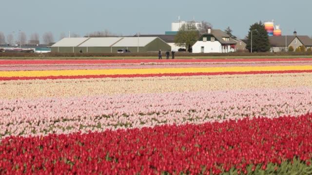 tulip fields near keukenhof gardens, lisse, netherlands. - plant bulb stock videos & royalty-free footage
