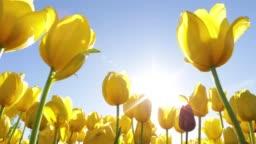 Tulip Flower in Springtime