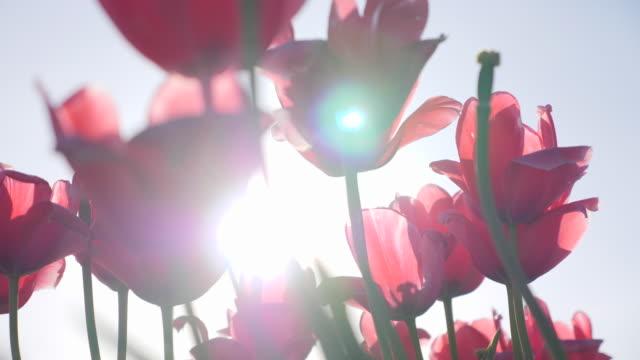 tulip flowers sun lens flare growing. - slow motion - purple stock videos & royalty-free footage