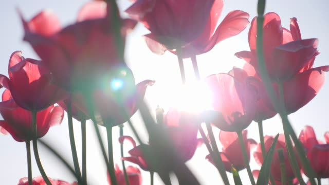 tulip flowers sun lens flare growing. - slow motion - tulpe stock-videos und b-roll-filmmaterial