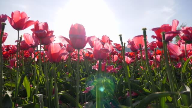 tulip flowers sun lens flare growing. - slow motion - チューリップ点の映像素材/bロール
