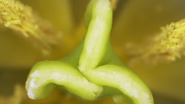 tulip macro. - pistil stock videos & royalty-free footage