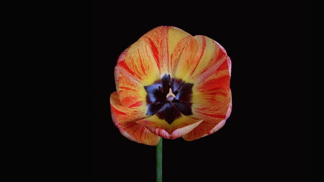 t/l, cu, tulip opening against black background - blumen stock-videos und b-roll-filmmaterial