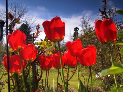 stockvideo's en b-roll-footage met ntsc: tulip - plant attribute