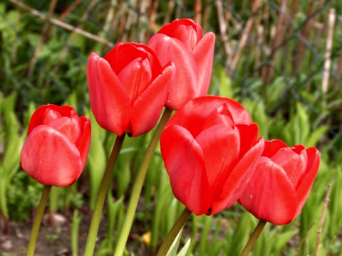 pal: tulip - lily family stock videos & royalty-free footage
