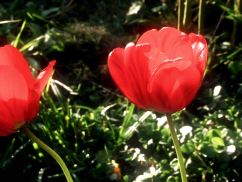 tulip - plant bulb stock videos & royalty-free footage