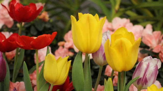 tulip - small group of objects stock videos & royalty-free footage