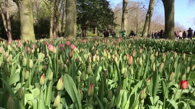 tulips are in full bloom at the keukenhof the world's largest flower and tulip garden park on april 18 2018 in lisse netherlands one of the most... - temperate flower stock videos and b-roll footage