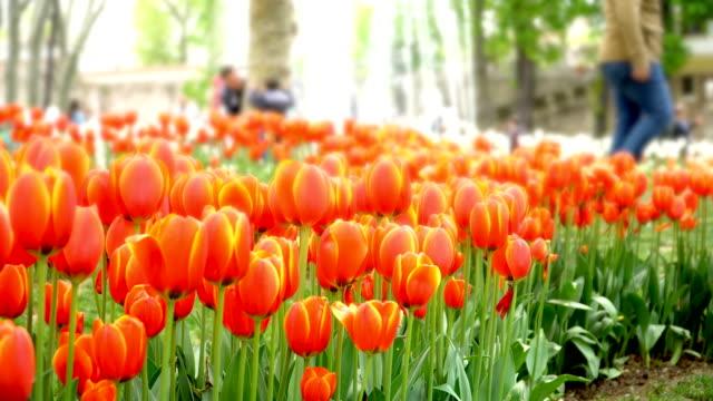 4k: tulips at beautiful in the garden - giardino pubblico giardino video stock e b–roll