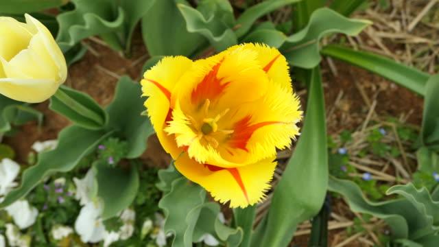 tulips at korea flower park during taean world tulip flower festival / anmyeon-eup, taean-gun, chungcheongnam-do, south korea - pistil stock videos & royalty-free footage