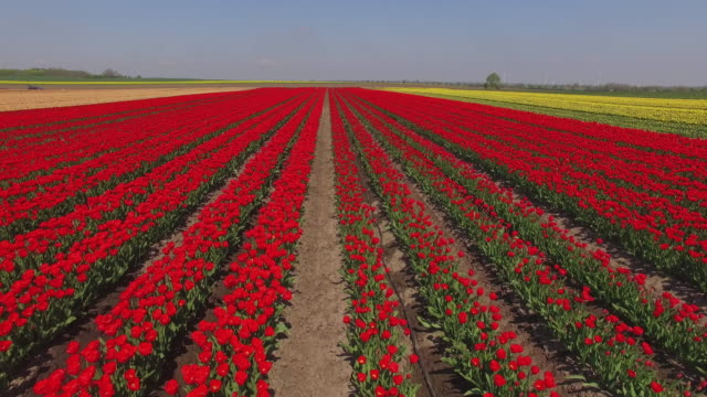 vídeos y material grabado en eventos de stock de tulips blossom at the degenhardt-sellmann spezialkulturen tulip fields near magdeburg on may 2, 2016 in schwaneberg, germany.the company cultivates... - tierra cultivada