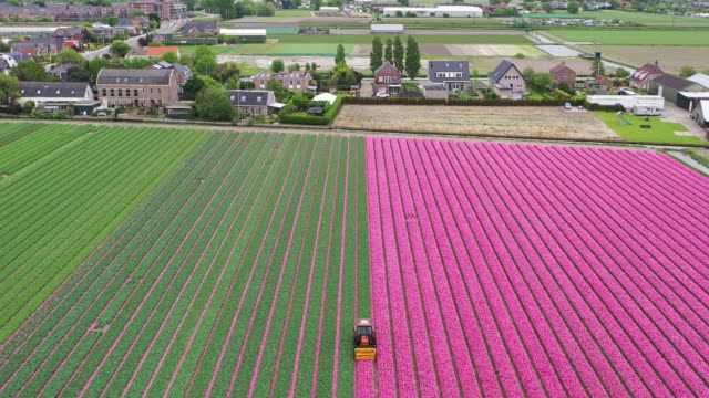 tulips camp in netherland - drone - niederlande stock-videos und b-roll-filmmaterial