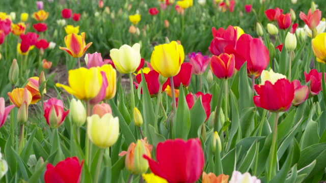 tulips in different colors in field. bavaria, germany. - plant bulb stock videos & royalty-free footage