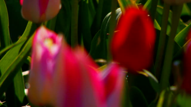 Tulips in field, rack focus