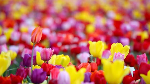 HD tulips in field