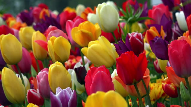 tulips in field - bright colour stock videos & royalty-free footage