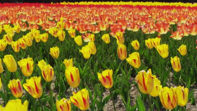 tulips in full bloom in the field - blomrabatt bildbanksvideor och videomaterial från bakom kulisserna