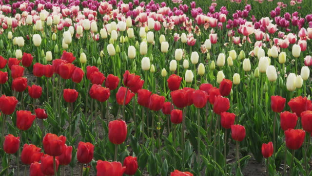 Tulips in Full Bloom in the Field