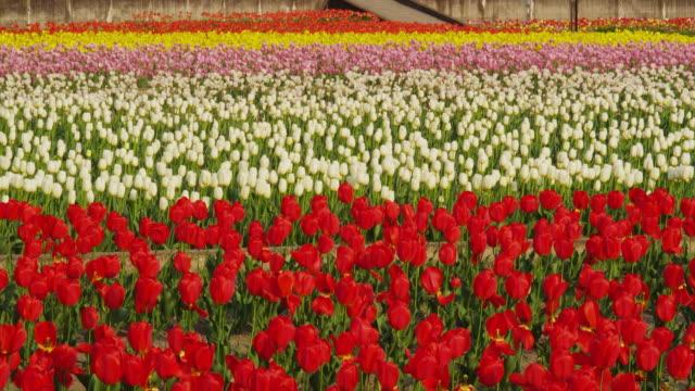vidéos et rushes de tulips in full bloom in the field - parterre de fleurs