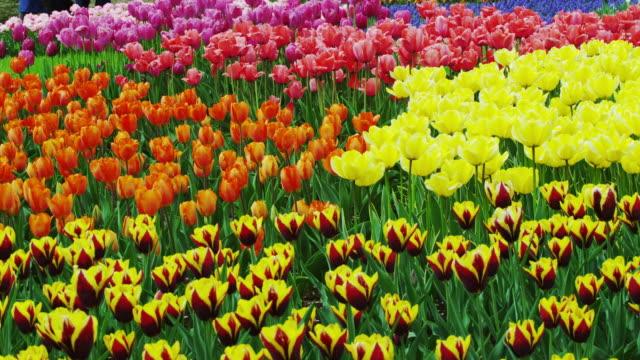 Tulips in full bloom in the park