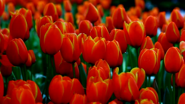 tulips in garden - dutch culture stock videos & royalty-free footage