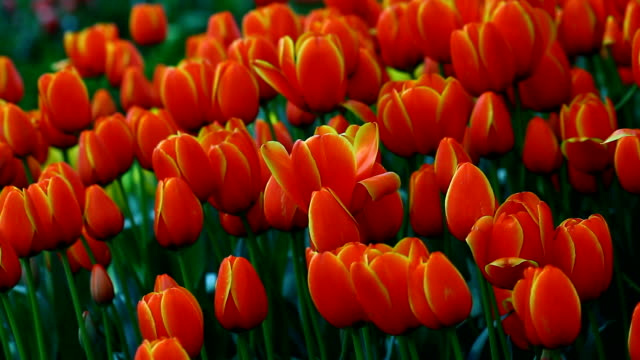 tulips in garden - coiled spring stock videos and b-roll footage
