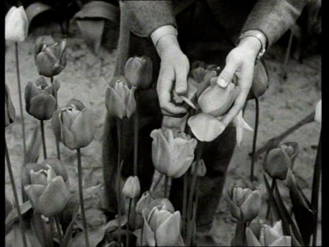vídeos y material grabado en eventos de stock de 1950 b/w tulips in gardens, greenhouses and flower fields / netherlands - cinta métrica