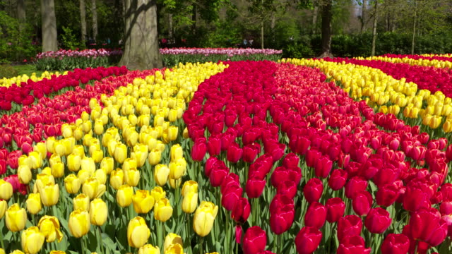 tulips in rows with different colors blooming in formal garden. lisse, south holland, netherlands - south holland stock videos and b-roll footage