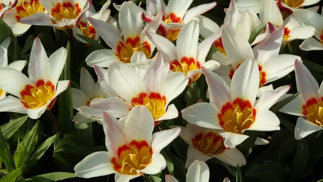 tulips in windermere, uk. - cream coloured stock videos & royalty-free footage