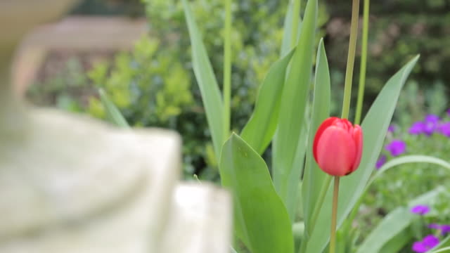tulips, nottinghamshire, england, uk, europe - decorative urn stock videos and b-roll footage