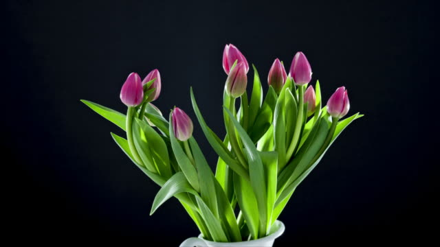 tulips rotate and rise upwards in a vase preparing to open and flower. - david ewing bildbanksvideor och videomaterial från bakom kulisserna