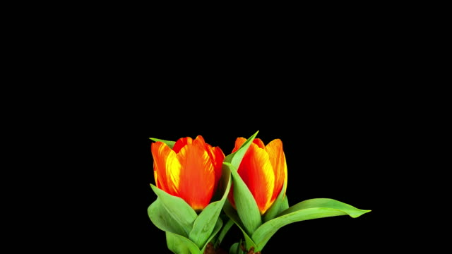 tulips; time lapse - daffodil stock videos and b-roll footage