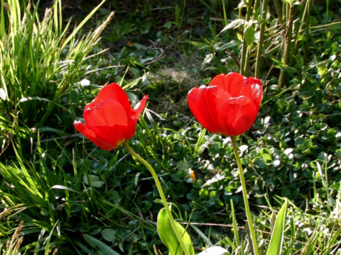 tulips - plant bulb stock videos & royalty-free footage