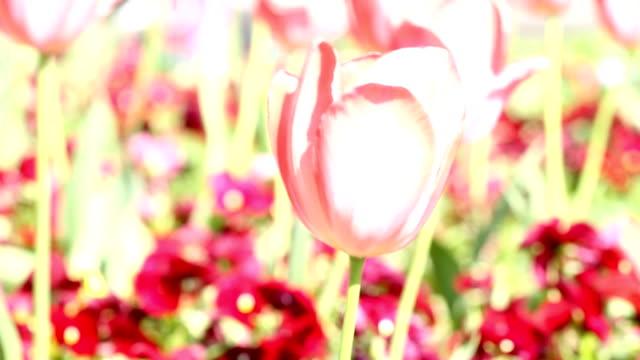 tulpen (hd - ausgebleicht stock-videos und b-roll-filmmaterial