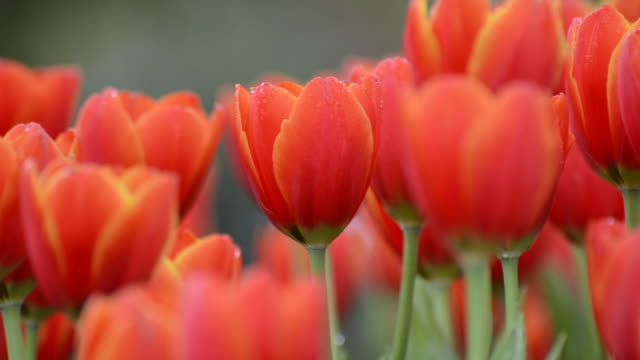 tulips - orange colour stock videos & royalty-free footage
