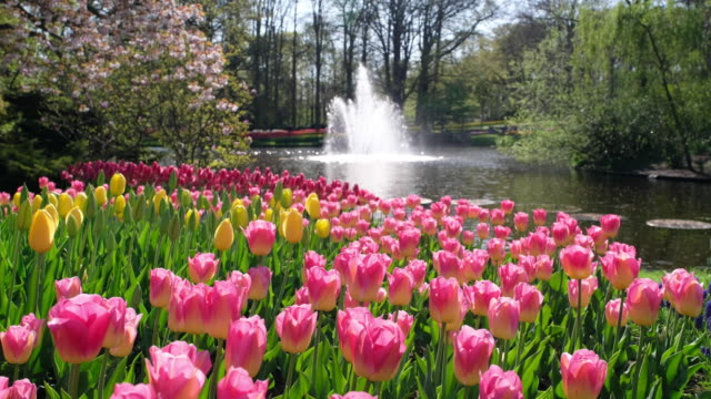 tulips with fountain - fountain stock videos & royalty-free footage