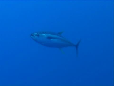 vídeos y material grabado en eventos de stock de tuna fish in open water at dusk - atún animal