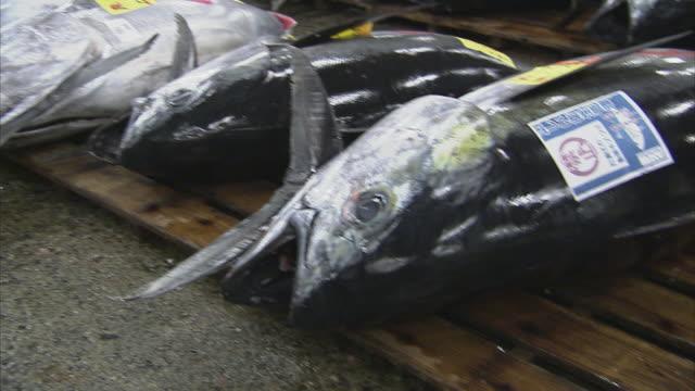 cu pan tuna fish, tsukiji fish market, tokyo, japan - fish market stock videos and b-roll footage