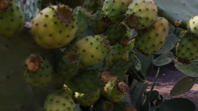 tuna fruit - prickly pear cactus stock videos & royalty-free footage
