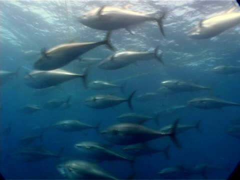 tuna seen through bars swimming within cage at fish farm, mediterranean sea. - aquatic organism stock videos & royalty-free footage