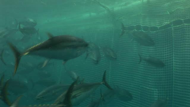 vídeos de stock e filmes b-roll de tuna swim in a fishing net. - atum peixe
