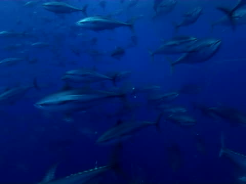 tuna swimming inside cage, limassol, cyprus, - republic of cyprus stock videos & royalty-free footage